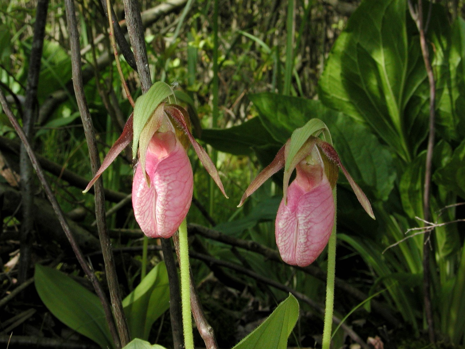 Pink Lady s Slipper Moccasin flower Cypripedium acaule