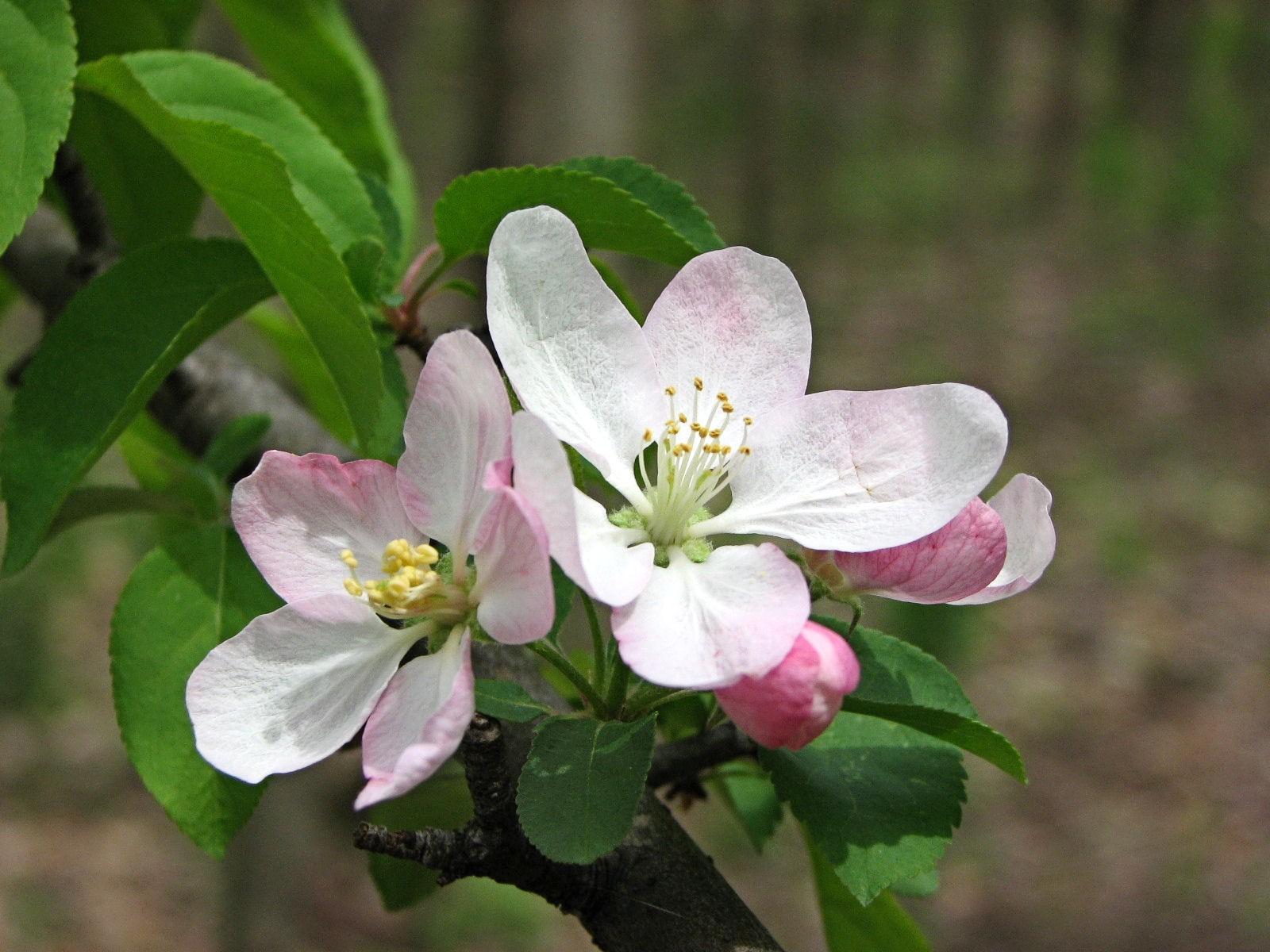 Perverdonk Wild Flowerstreesandshrubsappleapple Tree