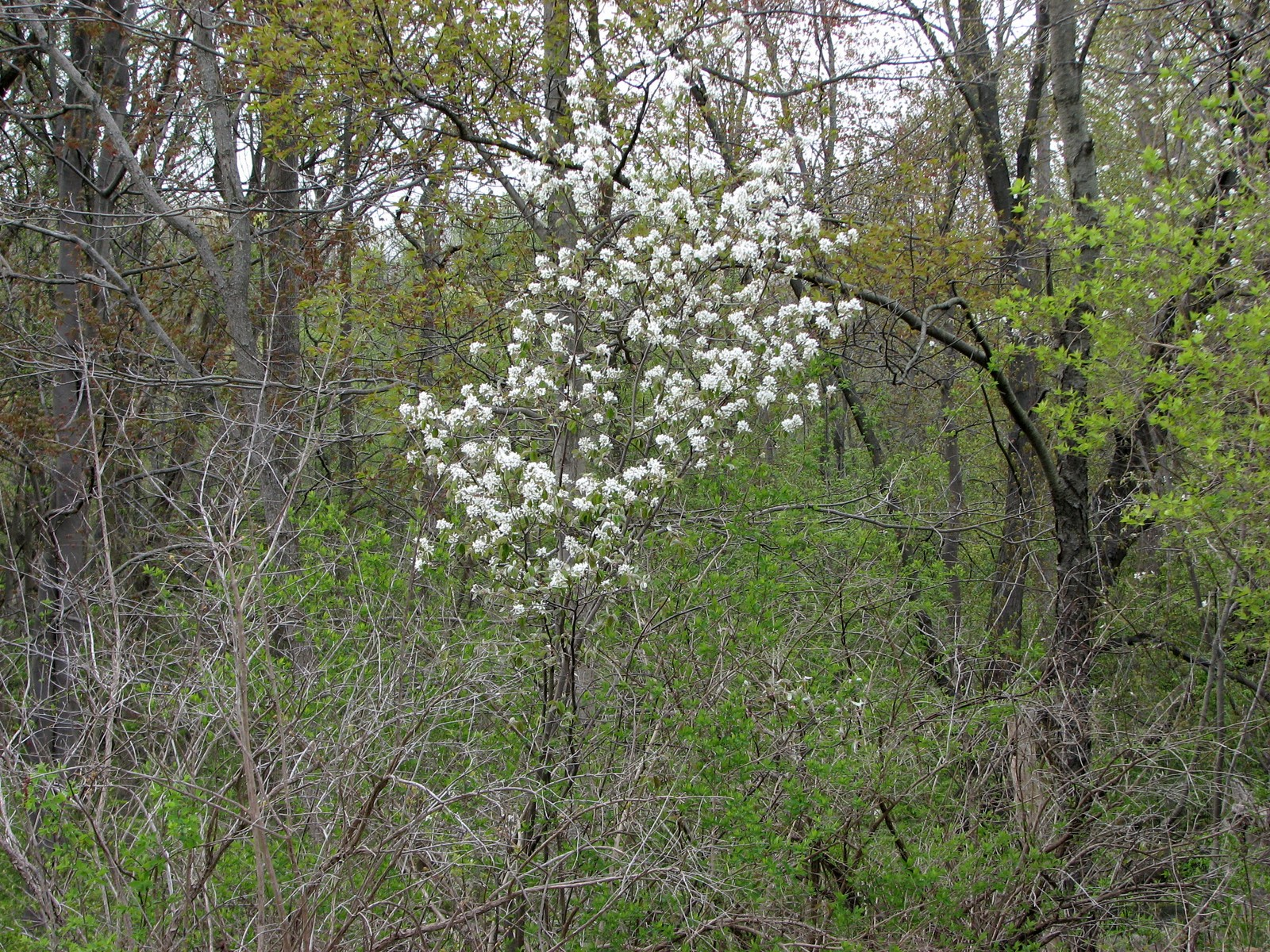 2008050118252823 Downy Serviceberry Or Juneberry